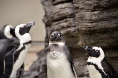会社にペンギン3
