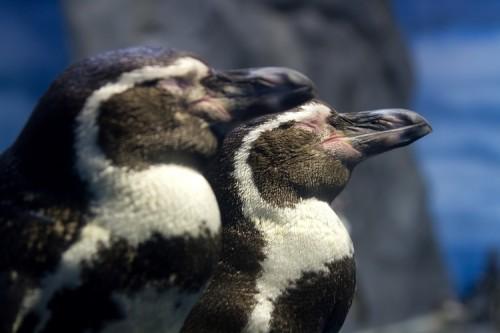 会社にペンギン8