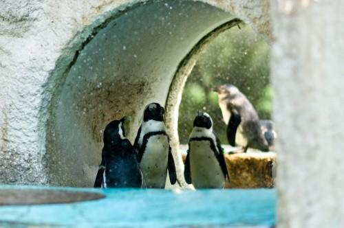 会社にペンギン9