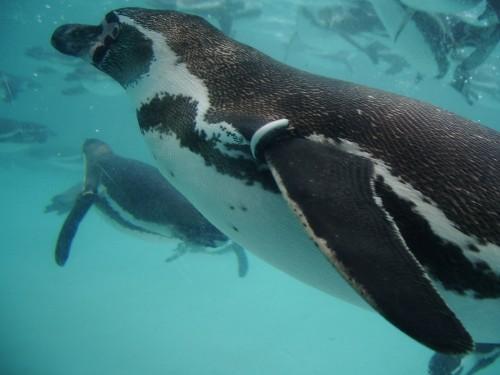会社にペンギン1